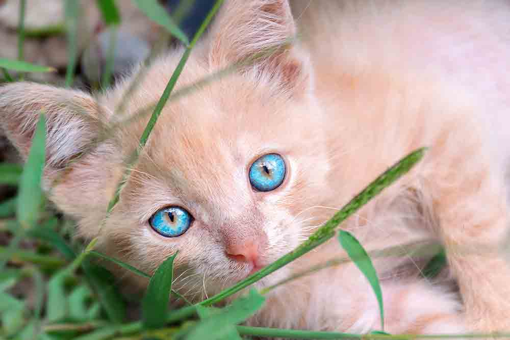 Small peach-colored kitten with blue eyes lies in the green grass