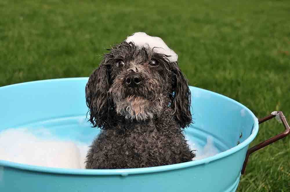Black poodle in blue tub with bubbles on his head