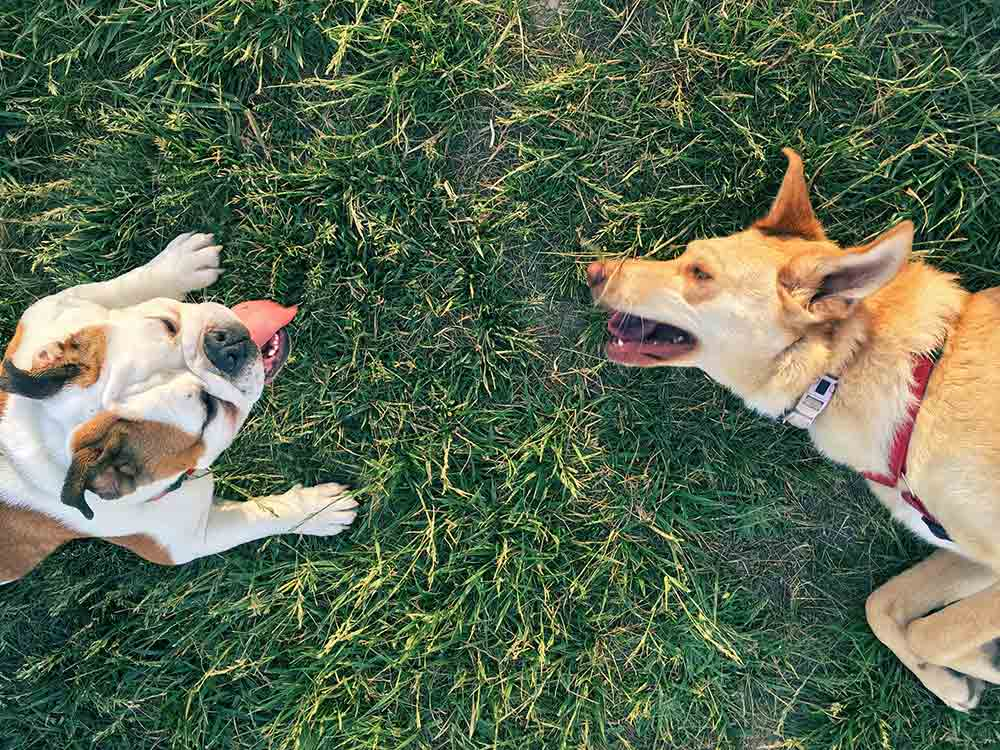 Two dogs play on the grass